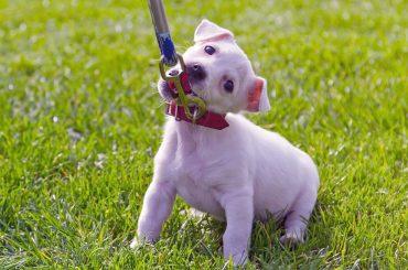 Yavru Köpekler İçin Tasma Eğitimi