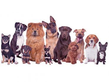Köpek Irkı Hakkında Bilgi Sahibi Olmak