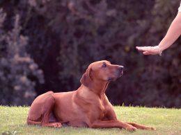 Evde Köpek Eğitimi Hakkında Bilinmesi Gerekenler