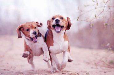 Köpeklerde Hiperaktiflik