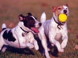 Köpeklerde Sosyalleşme Eğitimi